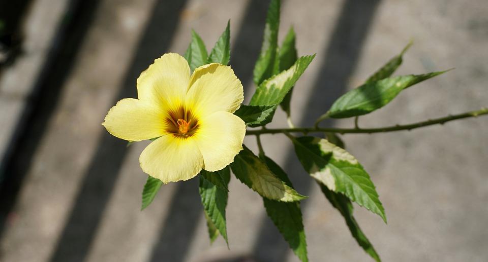 Yellow flax reinwardtia flower free photo on pixabay yellow flax reinwardtia flower flora leaf garden mightylinksfo