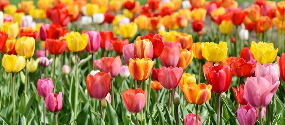 Tulpen, Tulp Veld, Tulpenbluete, Bloeide