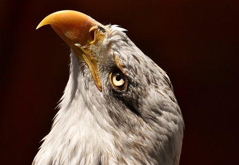 2,000+ Eagles Images & Pictures [HD] - Pixabay - Pixabay