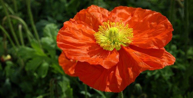 Poppy flower images pixabay download free pictures klatschmohn flowers poppy red mightylinksfo