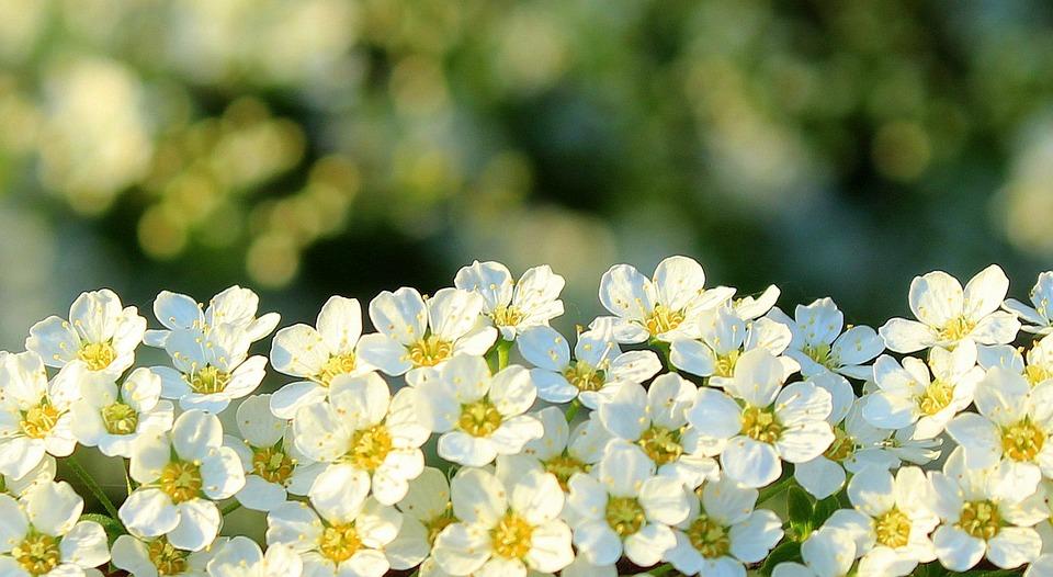 Tawuła White Flowers Bush · Free photo on Pixabay