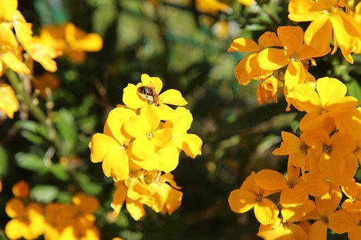 Giroflée, Insecte, Abeille, Pollen
