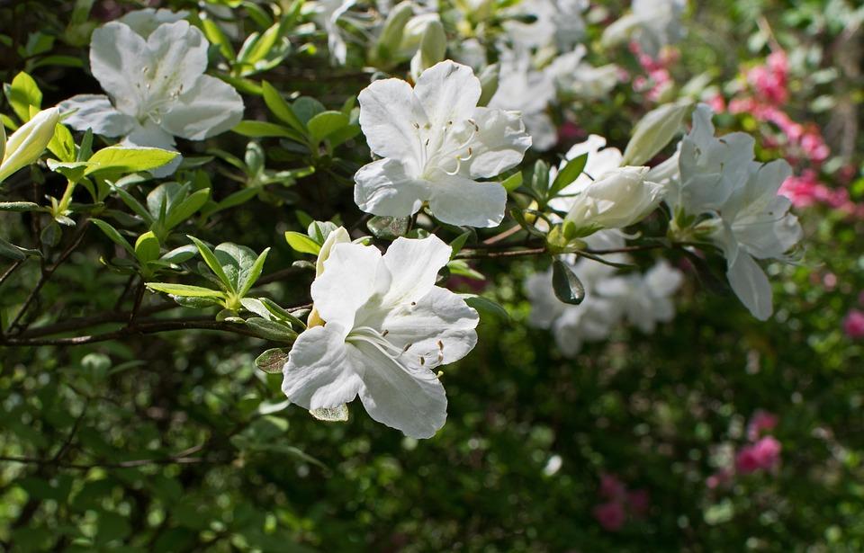 White azalea flower free photo on pixabay white azalea azalea flower blossom bloom shrub mightylinksfo