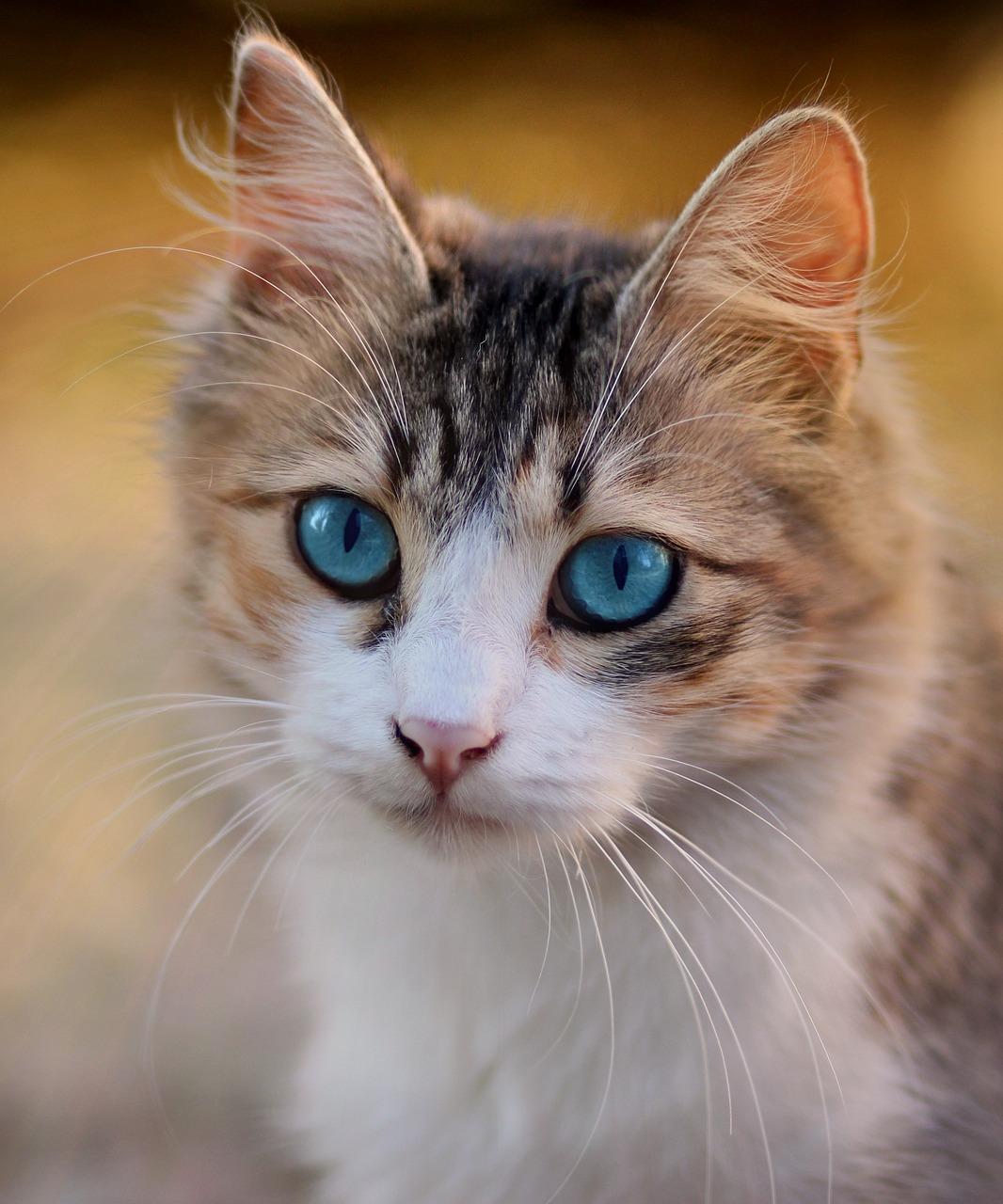 Картинки кота с голубыми глазами