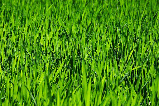 Grass, Field, Meadow, Rush, Growth