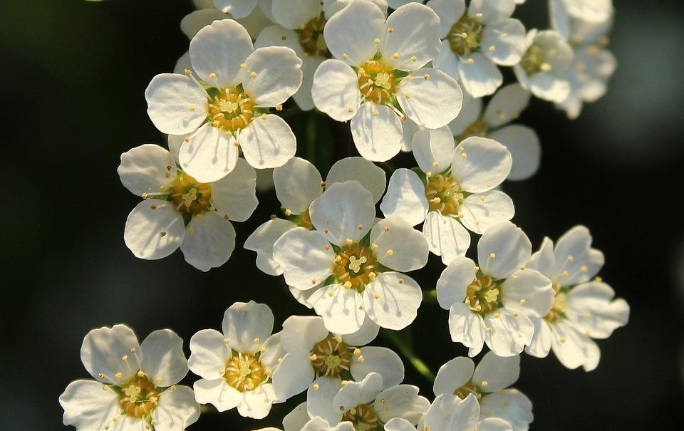 Tawua bush white flowers free photo on pixabay tawua bush white flowers spring flowering nature mightylinksfo Image collections