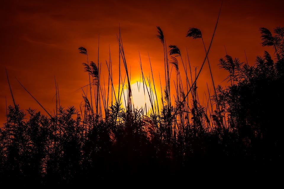 日落, 太阳, 黄昏, 侧影, 晚上, 自然, 芦苇, 风景