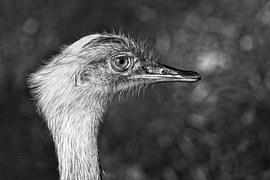 Greater Rhea, Bird, Animal