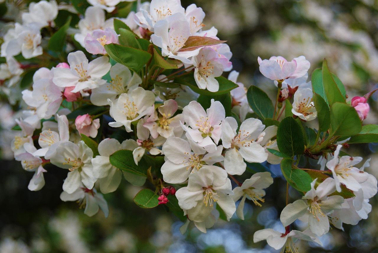 Дем рождения, цветущая яблоня картинки большой размер