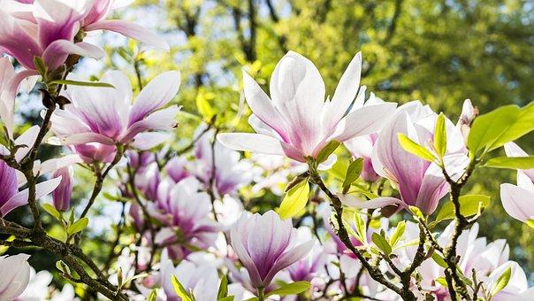Цветок, Магнолия, Природа, Завод, Сад