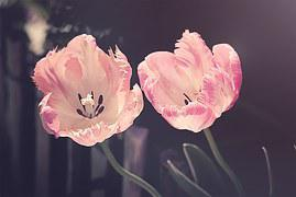 Tulips, Garden, Garden Flowers