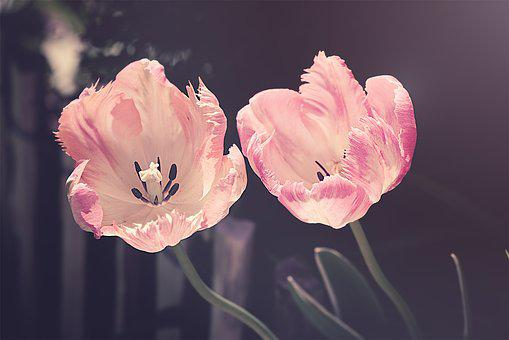 Spring flowers images pixabay download free pictures tulips garden garden flowers flower mightylinksfo Images