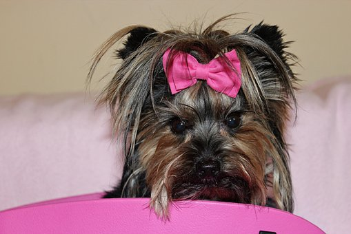 Teacup Yorkie Puppies for sale in Montana
