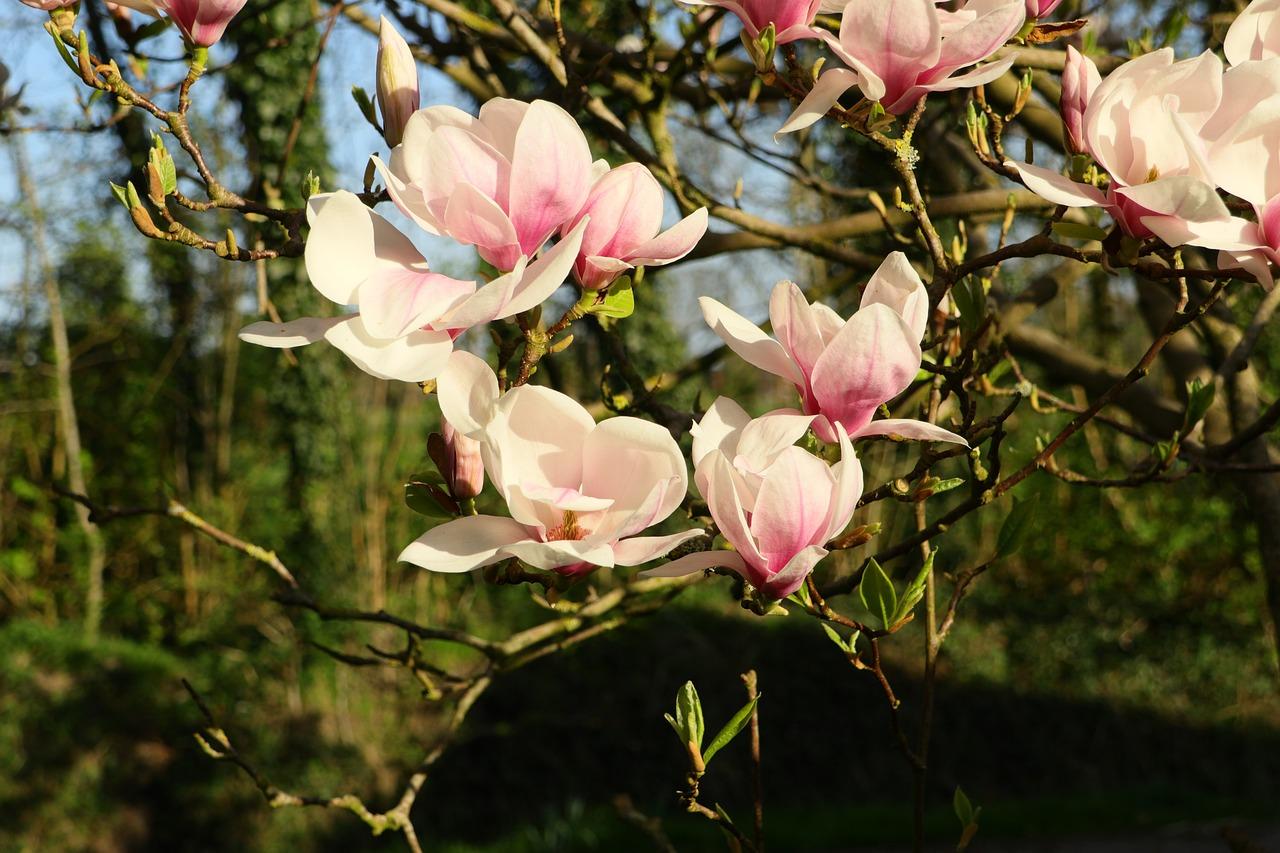 фото цветущей магнолии в краснодаре для приготовления
