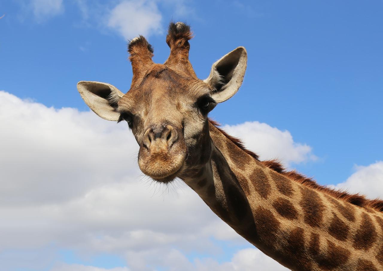 Девкшками, картинки жирафа прикольный