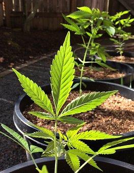 Leaf, Marijuana, Cannabis, Flora