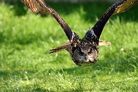 Owl, Bird, Feather, Eagle Owl