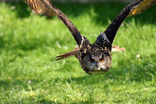 Owl, Bird, Feather, Eagle Owl, Animals