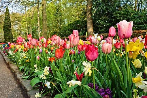 Tulip, Flower, Plant, Bulbous, Blossom