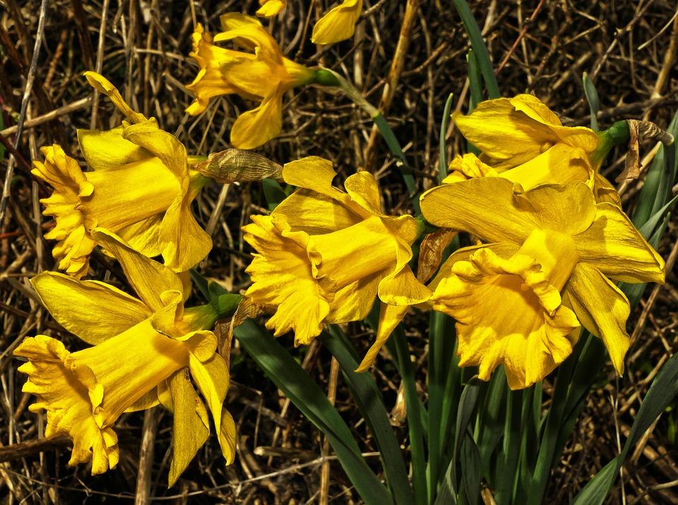 Osterglocken Narcisos Amarillos Foto Gratis En Pixabay - Narcisos-amarillos