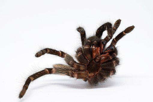 Skinning, Tarantula, Macro, Close Up