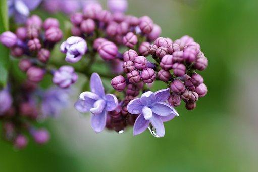 """Résultat de recherche d'images pour """"images gratuites de lilas"""""""