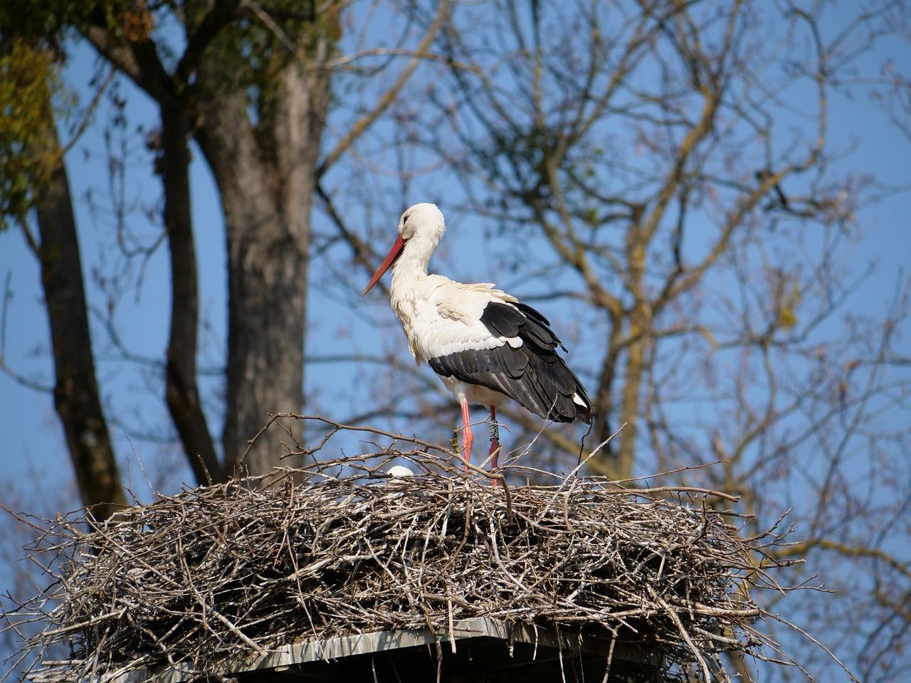 находит картинки гнездо аиста на дереве вариант жерновая