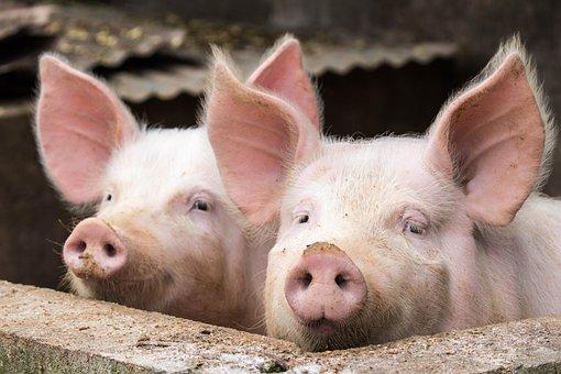 Аукционные цены на свинину нормализуются, поскольку вспышка АЧС в Корее ослабевает