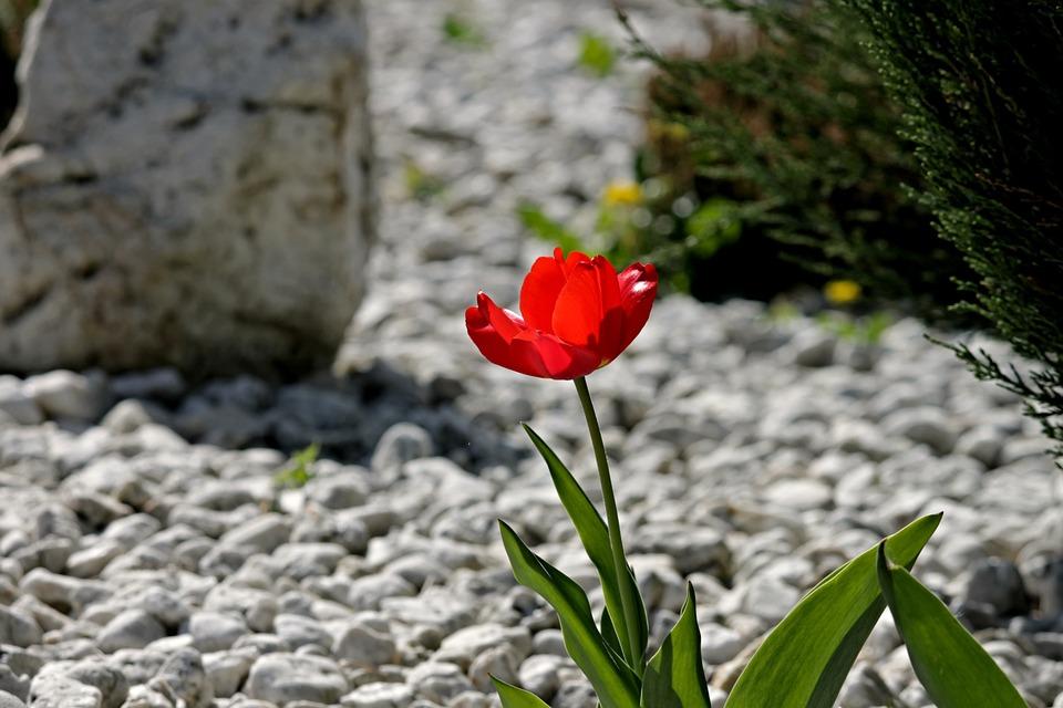 Tulip, Bloeien, Stenen Tuin, Kiezelsteen, Een