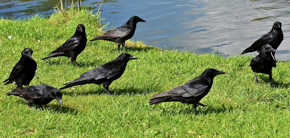 Krähen, Rabenvogel, Rabe, Schwarz, Natur, Schnabel