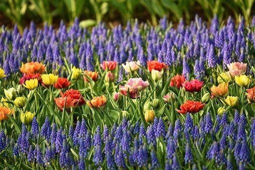 Muscari, Tulip, Flower, Flowerbed