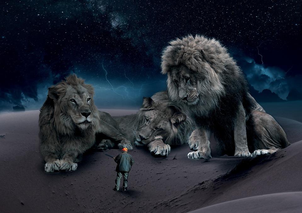 Wildlife, Lion, Natuur, Bont, Kat, Jager, Photoshop