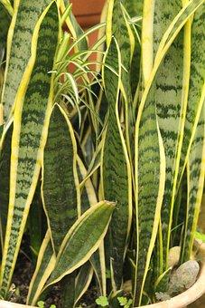 Sansevieriya, Sansevieria, Hoja, Planta