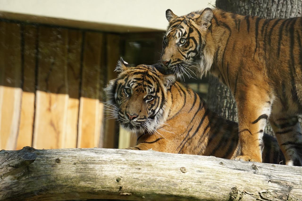 фото тигр и кот фото рециркулятора при