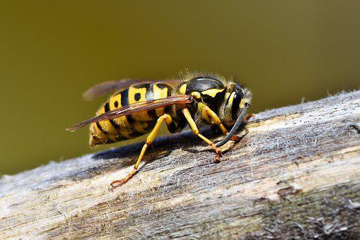 Hornet, Insect, Sting, Animal, Macro