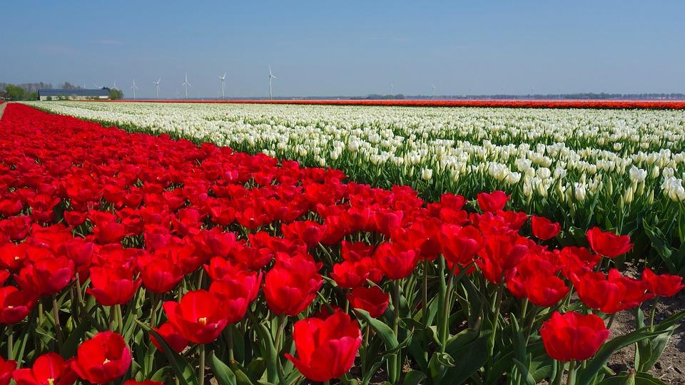 Lampada Fiore Tulipano : Tulipani lampadine tulipano · foto gratis su pixabay