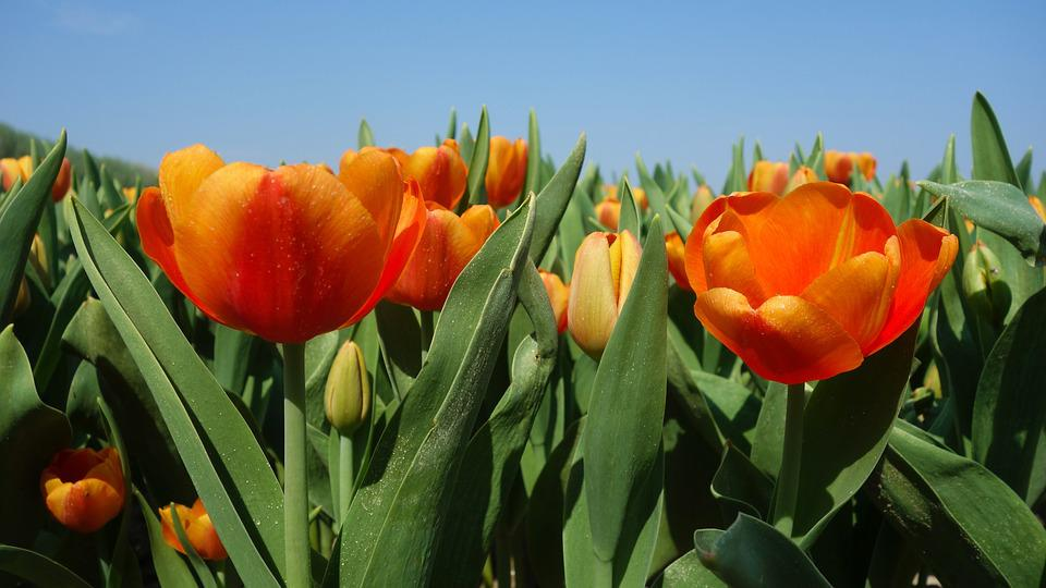 郁金香, 灯泡, 春天, 荷兰, 郁金香字段, 花卉, 植物, 荷兰风景, 鲜花