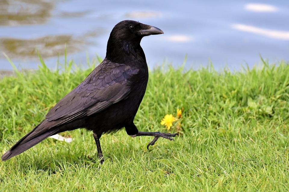 Crow, Ptak Kruk, Kruk, Czarny, Charakter, Bill