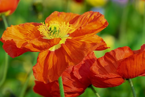 Yellow poppy images pixabay download free pictures poppy flower klatschmohn bloom mightylinksfo