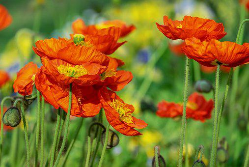 Poppy Flower Images Pixabay Download Free Pictures