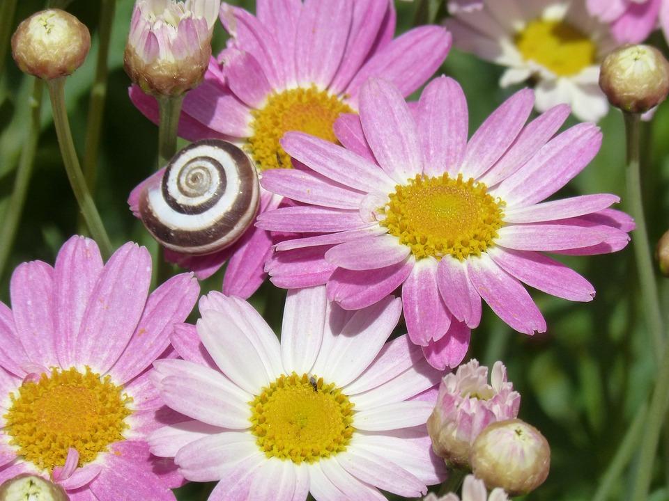Margaritas Blumen Blume Kostenloses Foto Auf Pixabay