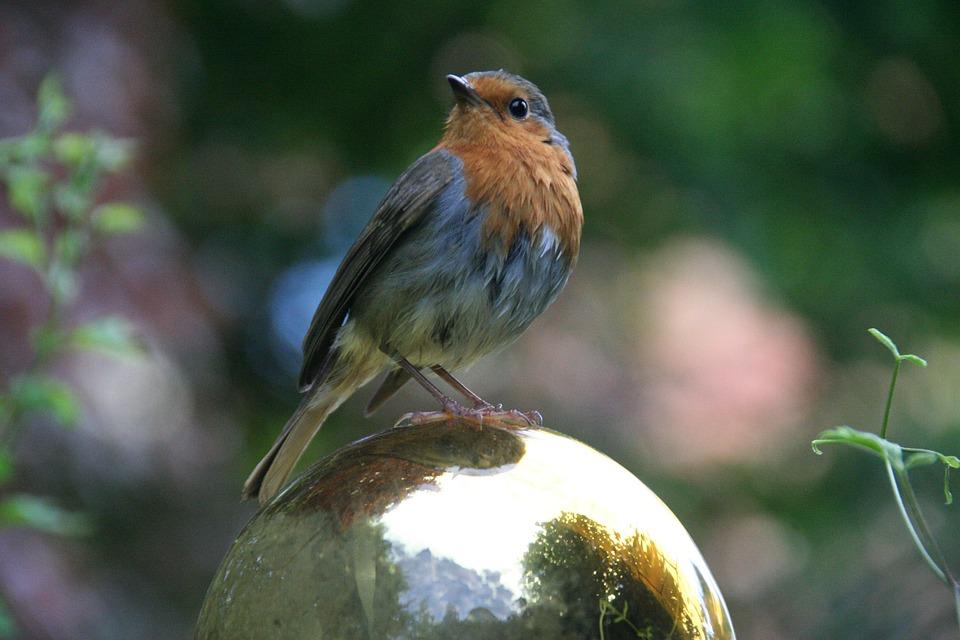 Rotkehlchen Singvogel Vogel Kostenloses Foto Auf Pixabay