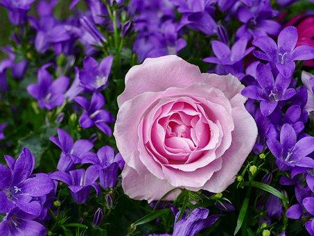 Роза, Цветок, Пинк, Завод, Природа