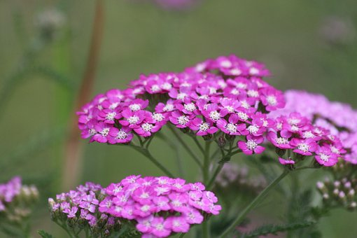 Yarrow, Achillea, Nature, Flower, Plant