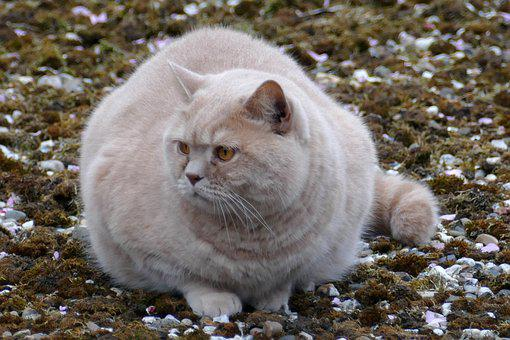 Cat, Pet, Fauna, Fat, Red
