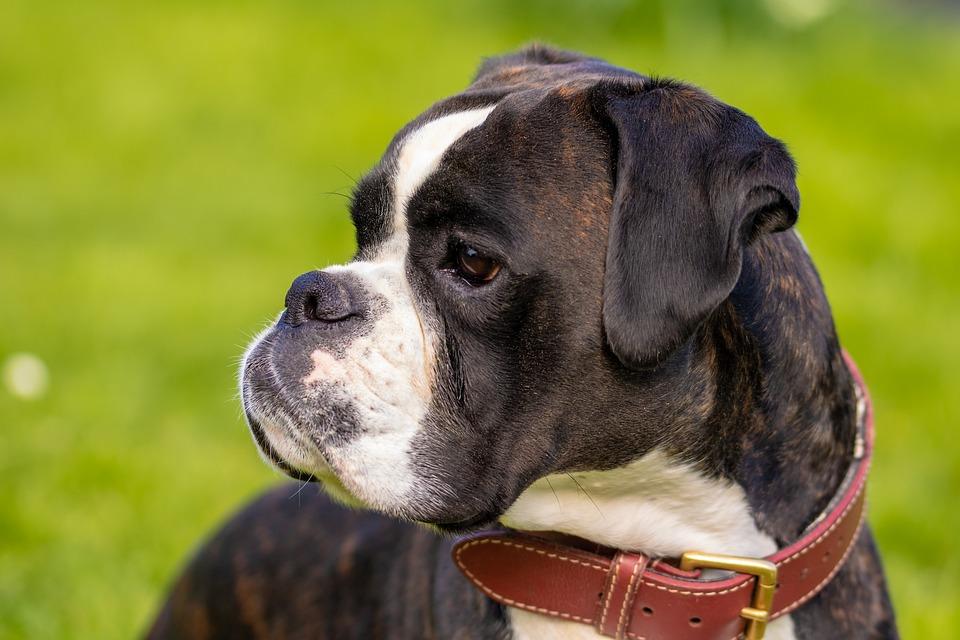狗, 拳击手, 宠物, 动物, 狗看, 拳师狗, 肖像, 良好, 面对, 动物肖像