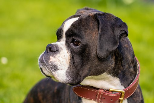 Dog, Boxer, Pet, Animal, Dog Look