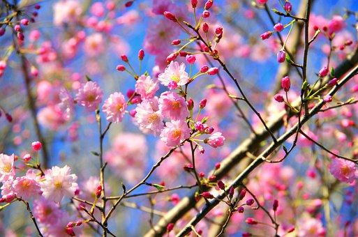 지 부, 꽃, 체리, 식물, 나무, 벚꽃