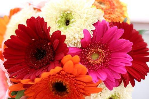 Gerbera, Daisy, Gerbera Flower