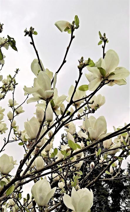 Magnolia tree many white free photo on pixabay magnolia magnolia tree many white flowers spring mightylinksfo